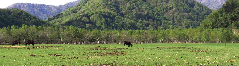 三親牧場の黒毛和種牛