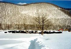 雪原の黒毛和牛