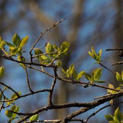 春の芽吹き