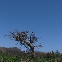 矮小化した樹木